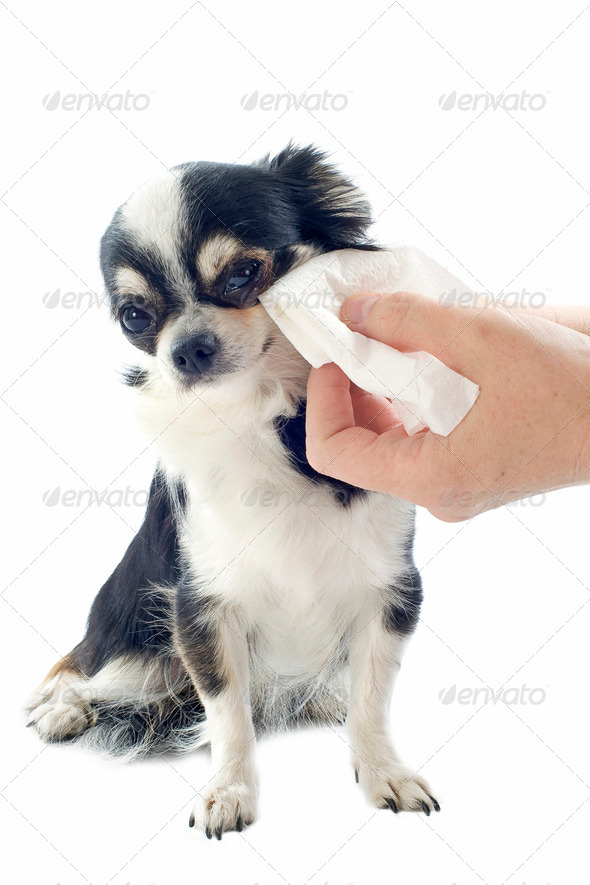 grooming of chihuahua - Stock Photo - Images