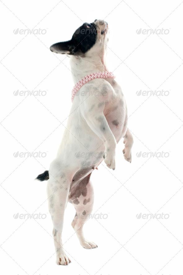 french bulldog jumping - Stock Photo - Images