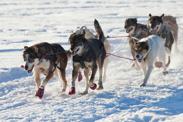 Team of sleigh dogs pulling - Stock Photo - Images
