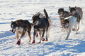 Team of sleigh dogs pulling - PhotoDune Item for Sale