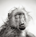 Wet Baboon portrait - PhotoDune Item for Sale