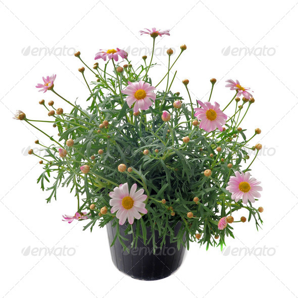 pink daisies - Stock Photo - Images