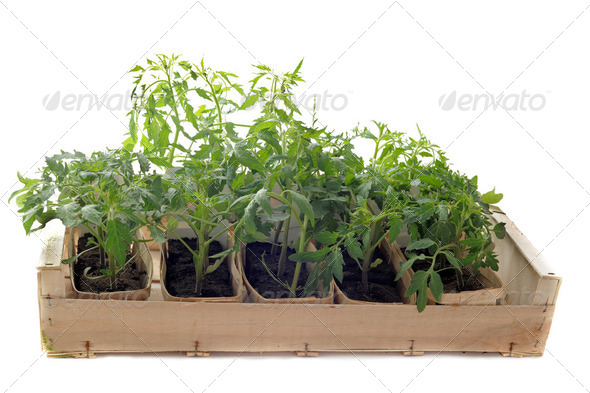 Tomatoes seedling - Stock Photo - Images