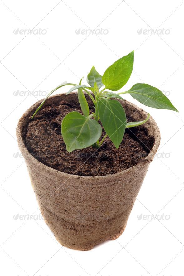 bell pepper seedling - Stock Photo - Images