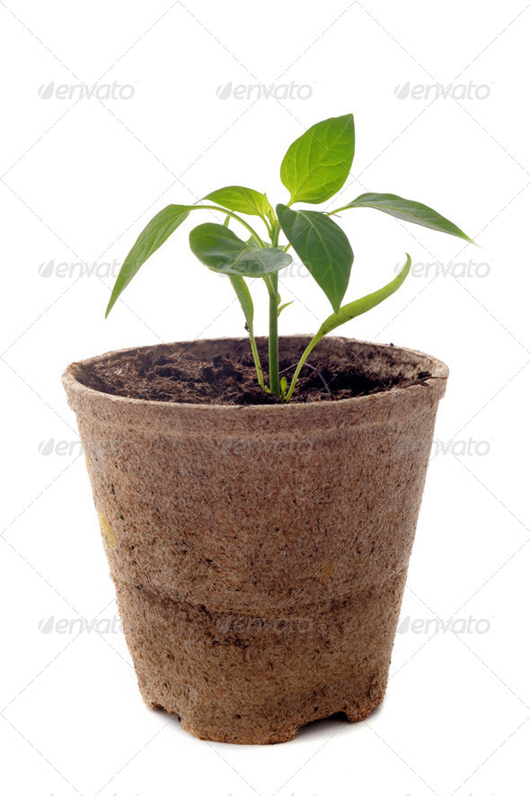 bell pepper seedling - Stock Photo - Images