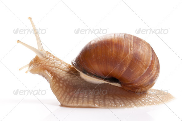 the garden snail - Stock Photo - Images