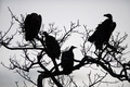 Vultures in a tree - PhotoDune Item for Sale