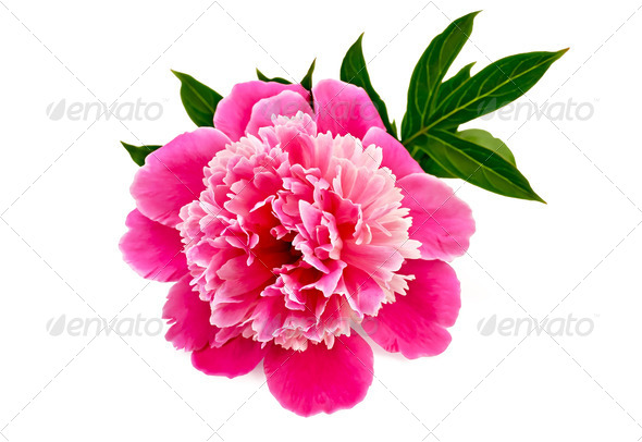 Peony pink - Stock Photo - Images