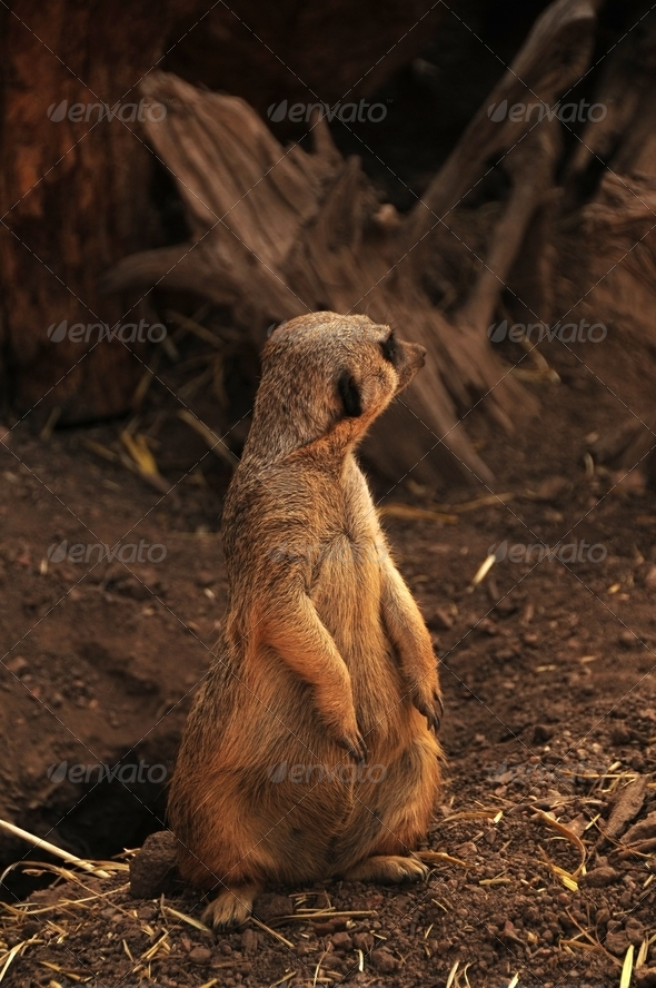 Suricate - Stock Photo - Images