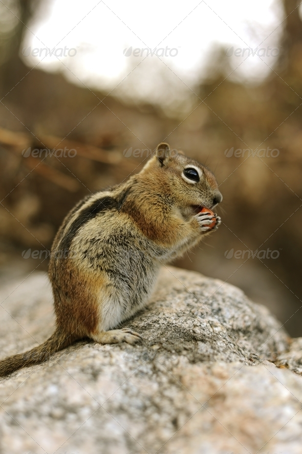 Eating Chip Munk - Stock Photo - Images