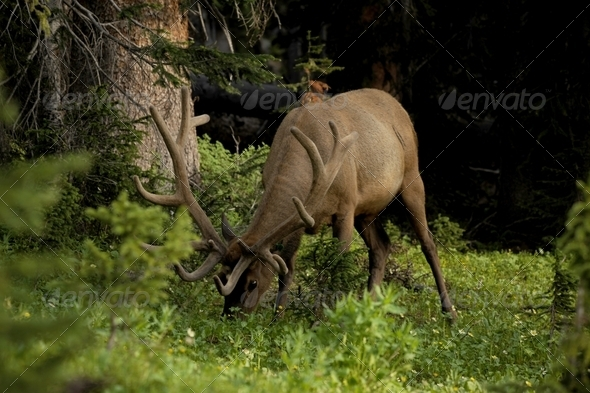 The Deer - Stock Photo - Images