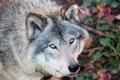 Gray Wolf Closeup - PhotoDune Item for Sale