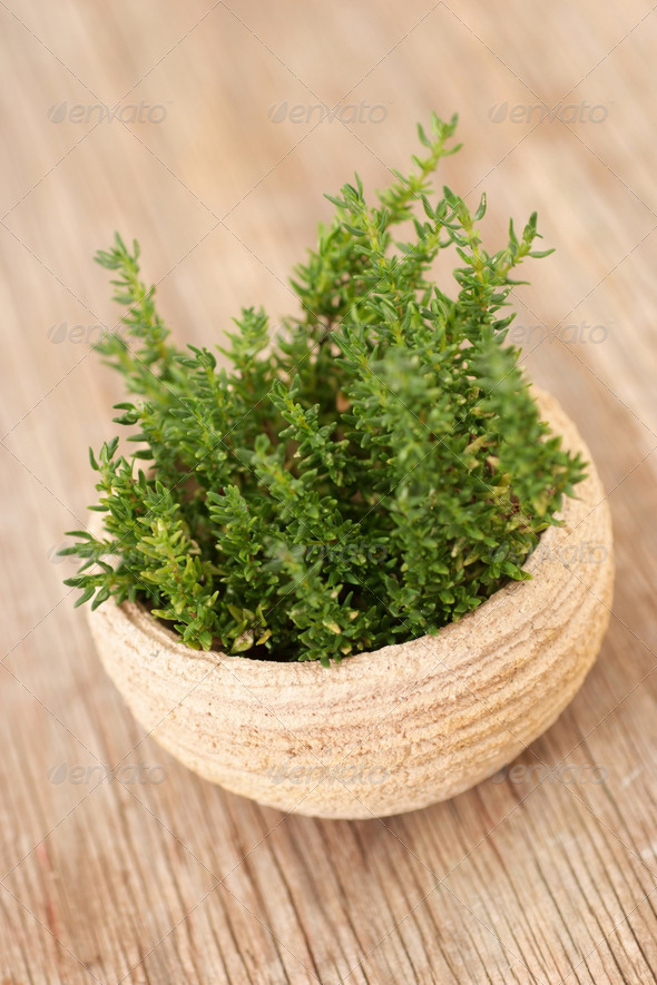 Fresh green Thyme in a pot - Stock Photo - Images