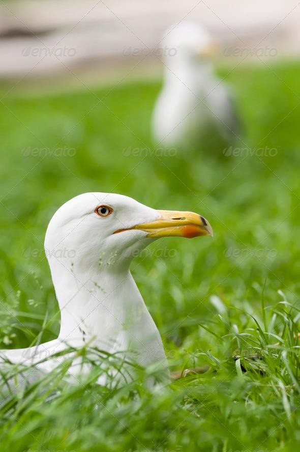 European Herring Gull, Larus argentatus - Stock Photo - Images