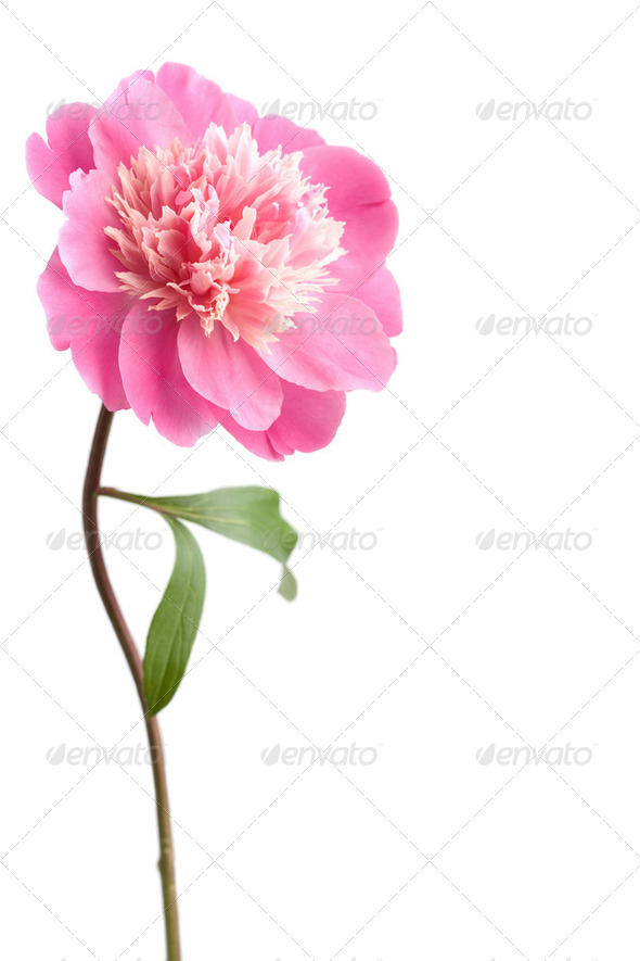 pink peony flower isolated  - Stock Photo - Images
