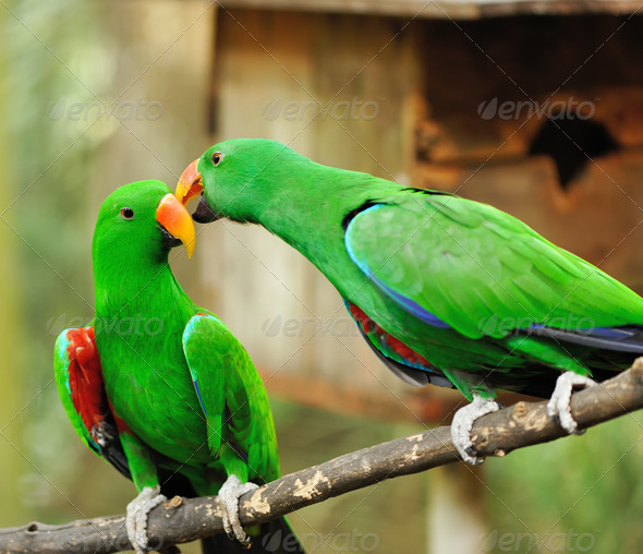 Couple of green eclectus parrots - Stock Photo - Images