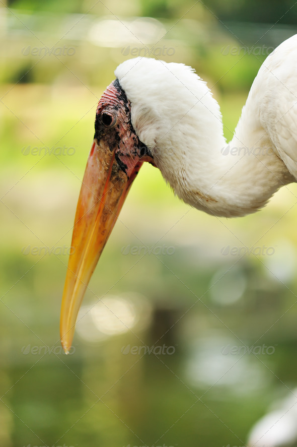 Stork bird - Stock Photo - Images