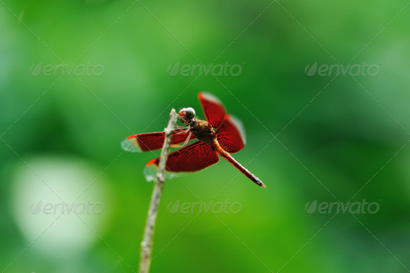 Dragonfly on a stick - Stock Photo - Images