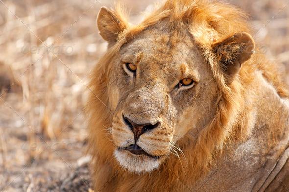 Wild lion - Stock Photo - Images