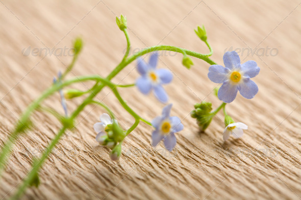 forget me not flower over recycled paper. ecological background - Stock Photo - Images