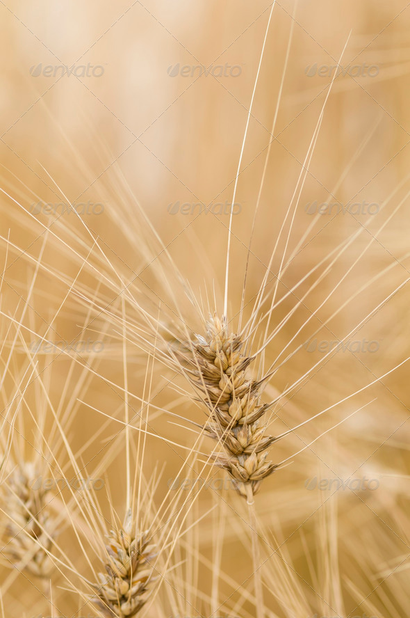 Durum macaroni wheat, Triticum aestivum - Stock Photo - Images