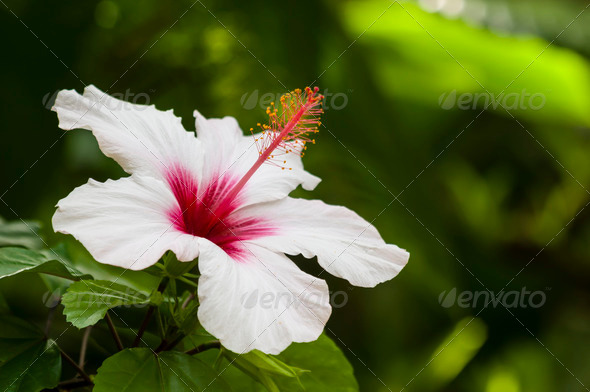 White hybiscus flower - Stock Photo - Images