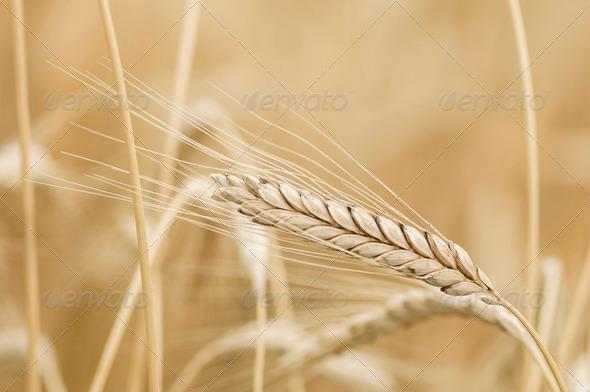 Triticum turgidum Rivet wheat - Stock Photo - Images