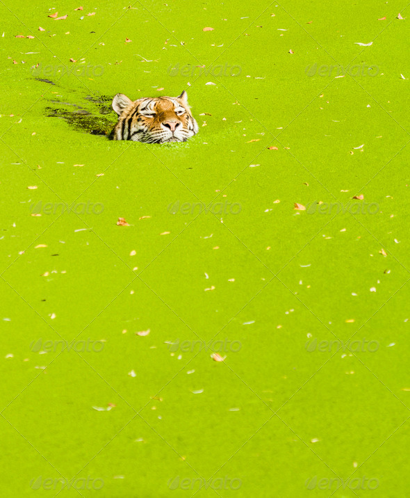 Swimming tiger - Stock Photo - Images