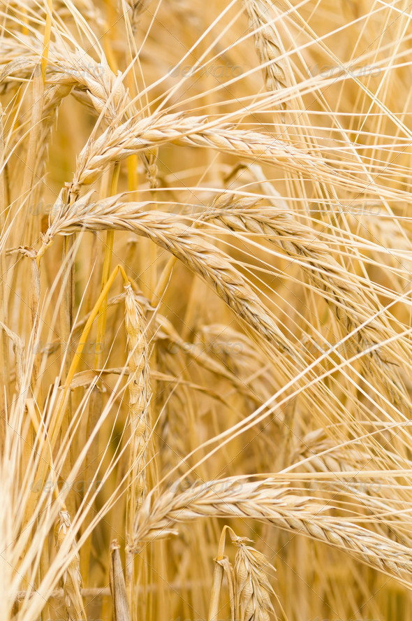 Hordeum distichon, barley, spikes - Stock Photo - Images