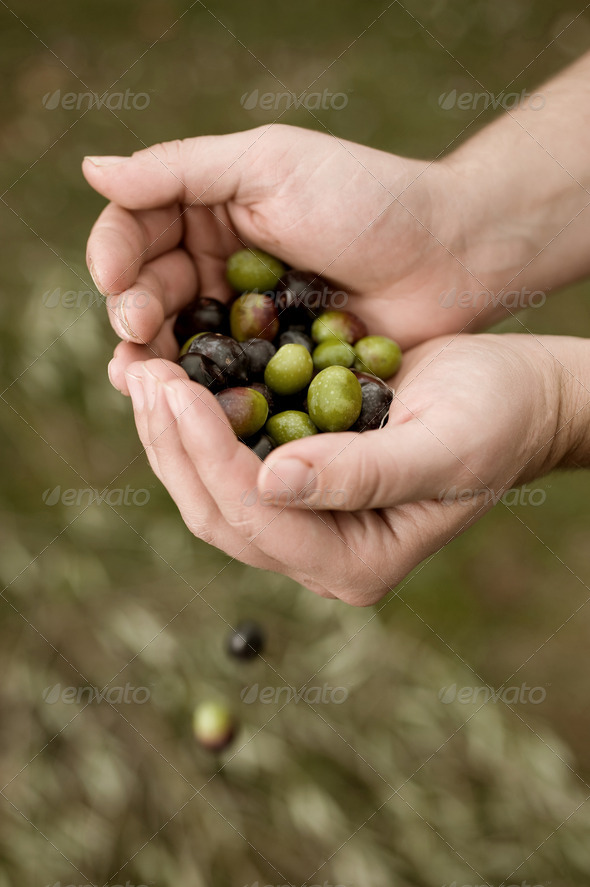 Harvesting olives - Stock Photo - Images