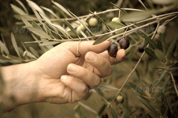 Picking olives by hand - Stock Photo - Images