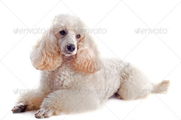 poodle - Stock Photo - Images