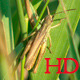Locust Eat Grass Closeup - VideoHive Item for Sale