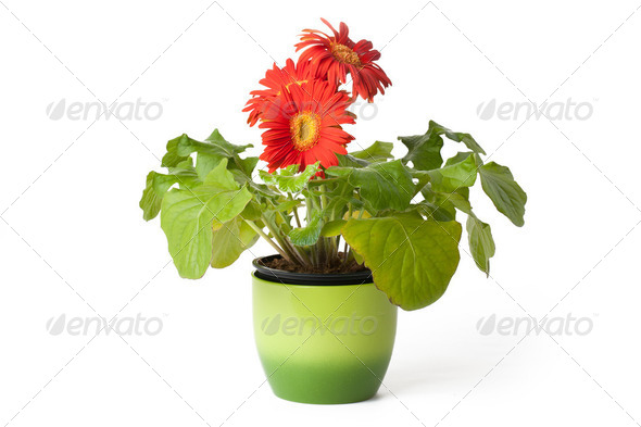 gerbera daisy in  flowerpot - Stock Photo - Images
