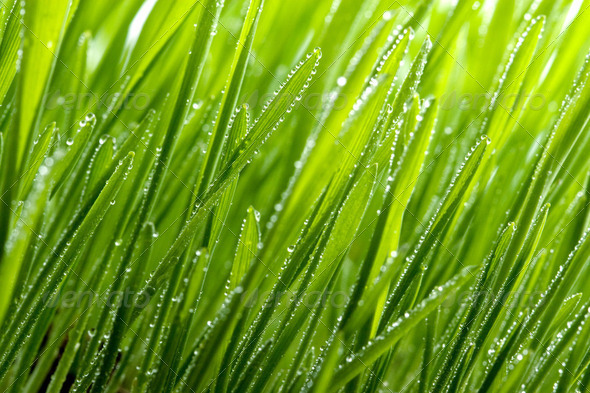 green grass with dew - Stock Photo - Images