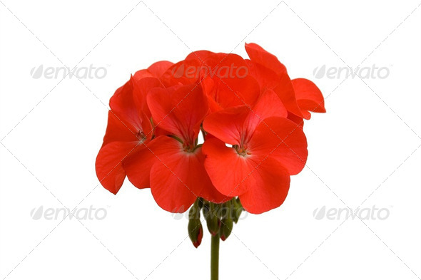 geranium_2 - Stock Photo - Images