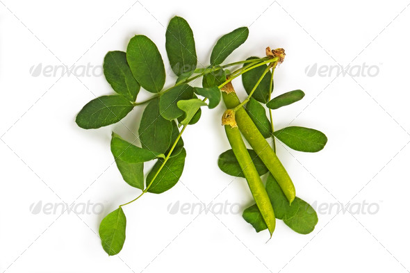 Sprig of Acacia pods with - Stock Photo - Images