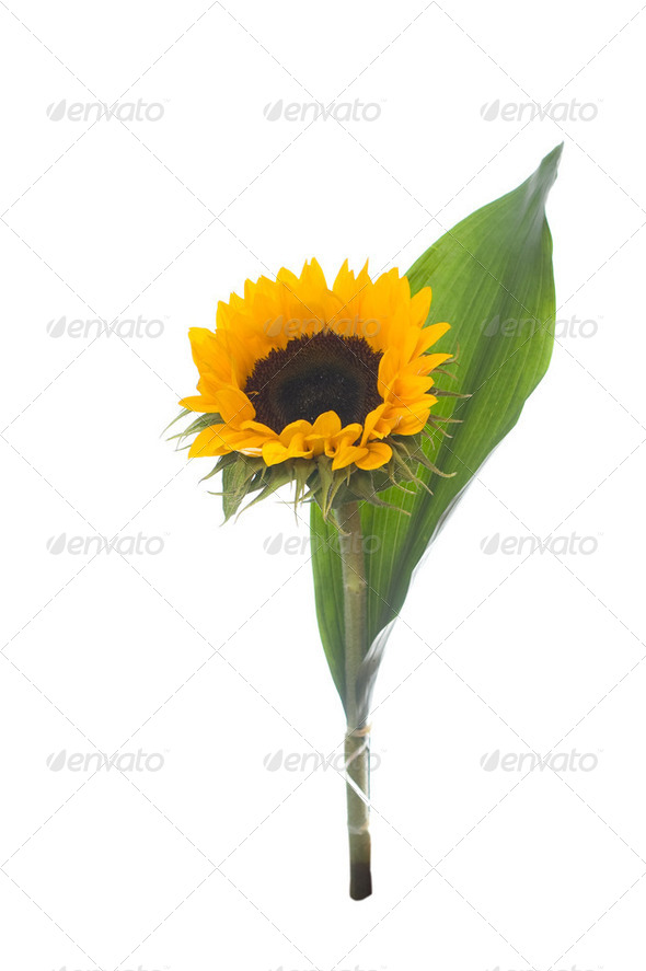 Sunflower, isolated on white. - Stock Photo - Images
