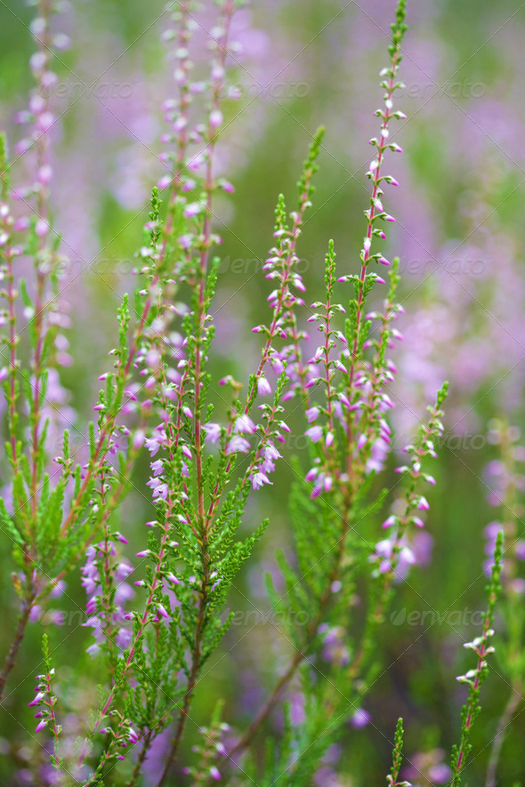 heather field background - Stock Photo - Images