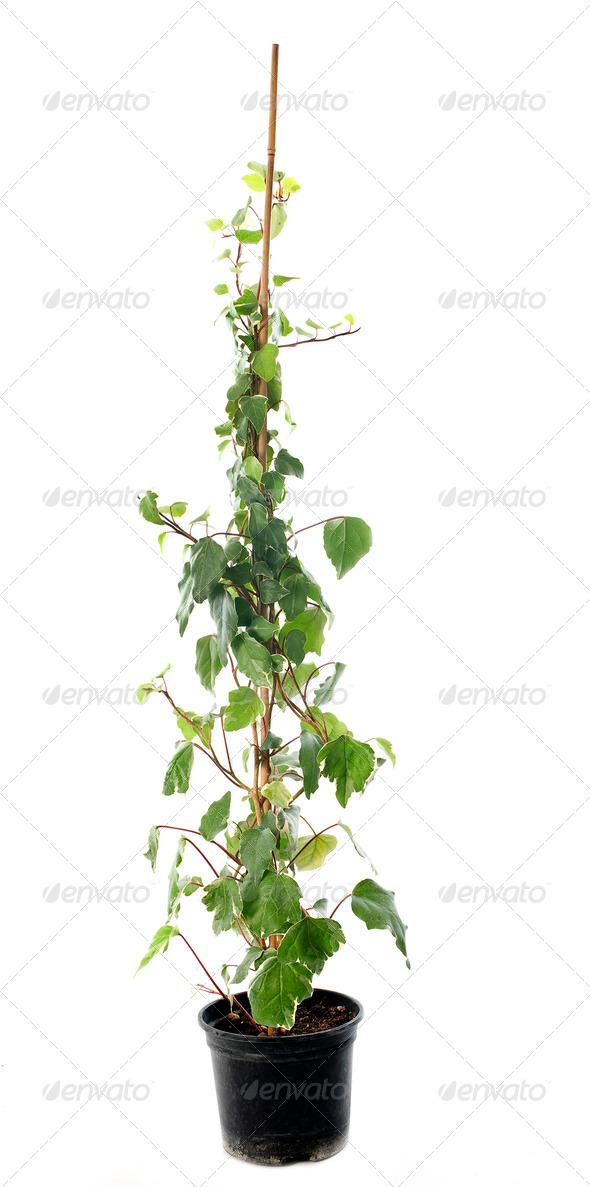 Hedera helix - Stock Photo - Images