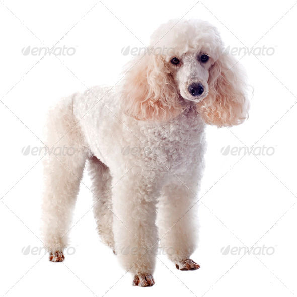 white poodle - Stock Photo - Images