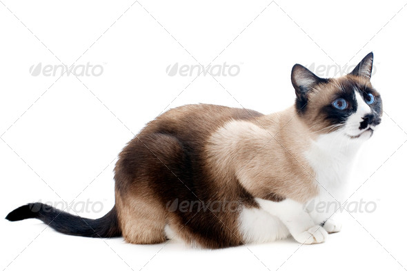 Siamese cat - Stock Photo - Images