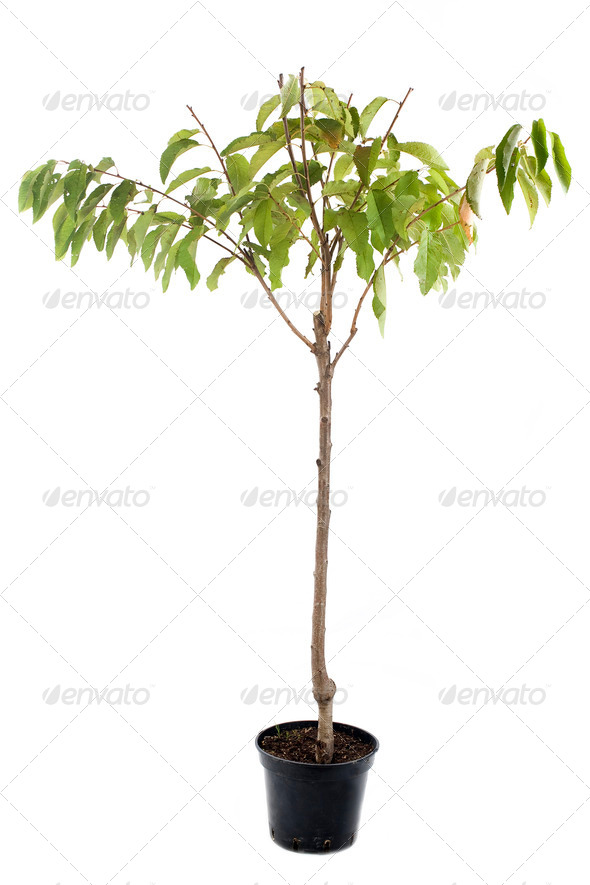 cherry tree in pot - Stock Photo - Images