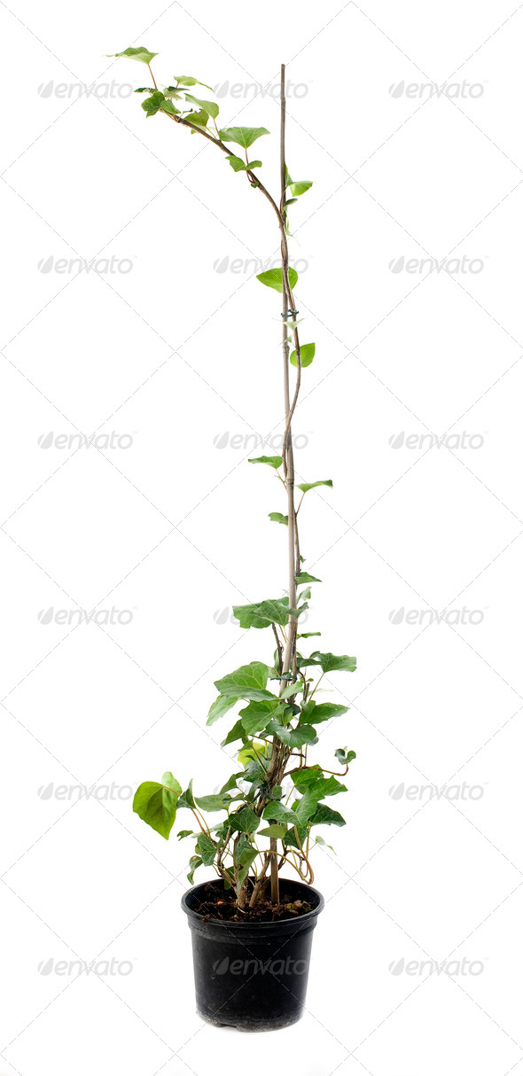 Hedera canariensis - Stock Photo - Images