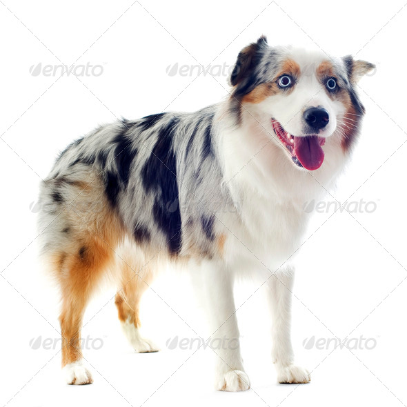 australian shepherd - Stock Photo - Images