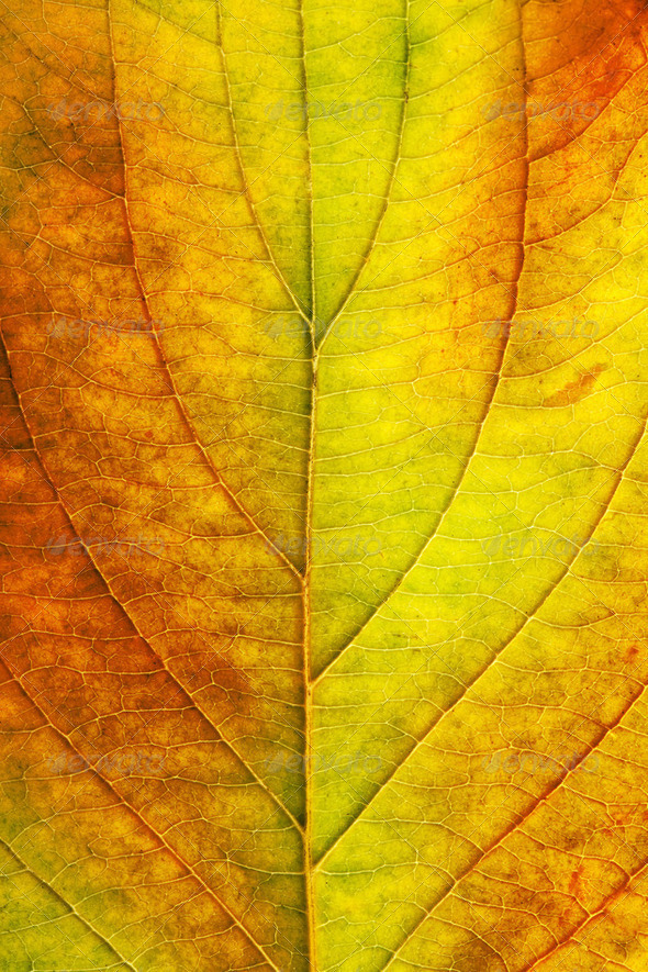 macro of autumn leaf - Stock Photo - Images