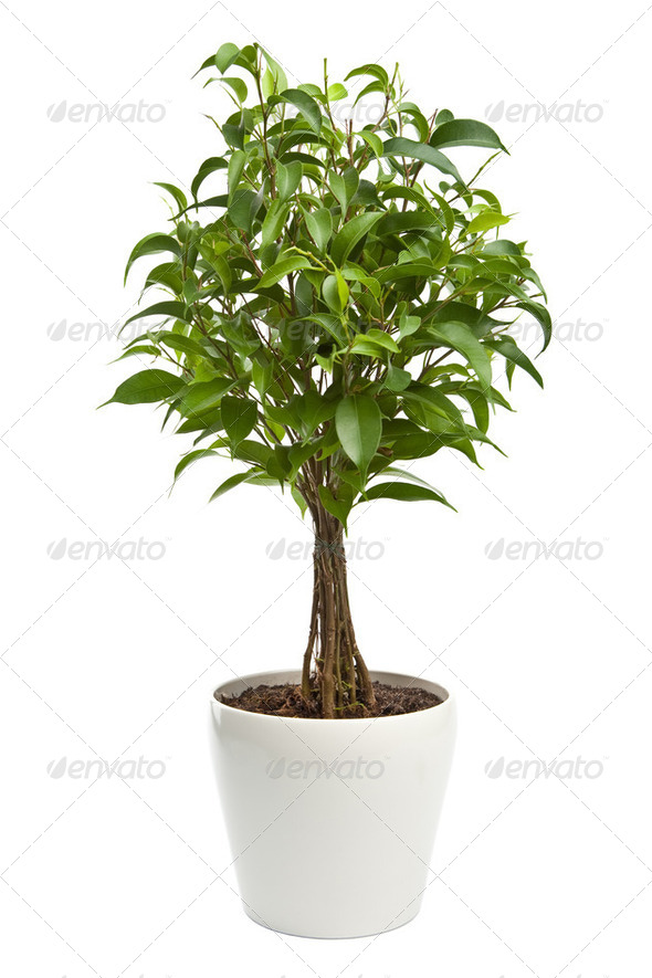 ficus isolated - Stock Photo - Images