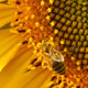 Bee On Sunflower 14 - VideoHive Item for Sale