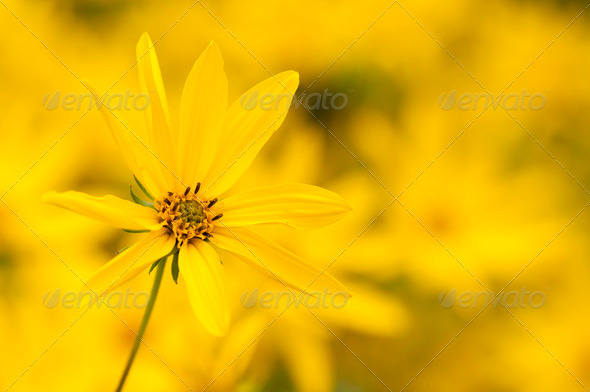 Ten-Petal Sunflower - Stock Photo - Images
