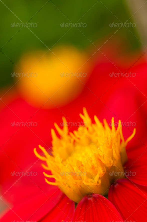 Mexican dahlia - Stock Photo - Images